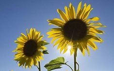 How to grow: sunflowers  Best sunflower varieties for pots and containers