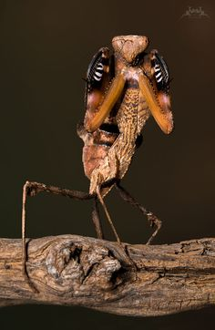 Giant Dead Leaf Mantis by Yvonne Späne on Giant Dead Leaf Mantis by Yvonne Chips on Cool Insects, Bugs And Insects, Weird Insects, Beautiful Bugs, Amazing Nature, Reptiles, Micro Photography, Insect Photography, Cool Bugs