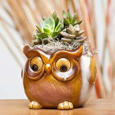 Succulent Mix in Vintage Owl Container - 39.9900