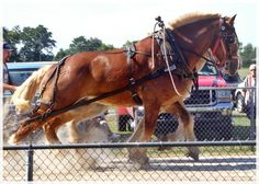 Horse Pull at Woodford County Fair. Big Horses, Work Horses, Beautiful Horses, Animals Beautiful, Belgian Horse, Horse Harness, Clydesdale, County Fair, Draft Horses