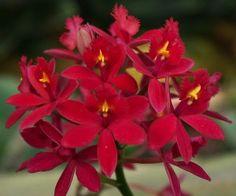 Epidendrum orchid care