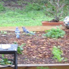 blue jays enjoying the raised vegetable garden