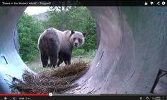 'Bears in the Modern World' Video Series – Trapped!  Grizzly bears are trapped near Glacier National Park and relocated to northwest Montana in the Cabinet-Yaak grizzly bear recovery zone. See the video of their capture and release and how Vital Ground helps protect wildlife habitat. See the video! http://www.vitalground.org/bears-modern-world-trapped/#.VADGt2NO17y