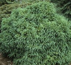 Cryptomeria Japonica Globosa Nana - This small growing globular shrub in an ideal addition to the conifer garden. This could be a conifer substitute for Boxwood. Plants grow slowly into a 3? x 3? flattened globe, with excellent green color throughout the year.