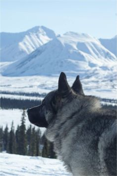 Norwegian Elkhound #dogs #pets #ShermanFinancialGroup