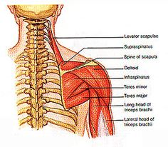 Shoulder : This teardrop-shaped muscle is made up of the anterior (front), posterior (back), and medial (side) deltoids.