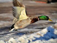 Gräsand i full speed... januari 2016 #änder #andfåglar #fåglar #ducks #birdlife #birds #naturfoto #nature #nikon #nikonphotography