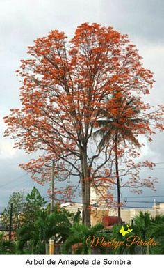 La Amapola de Sombra o Erythrina poeppigiana se llena de flores color naranja en los primeros meses del año y adornan nuestros campos y montañas.