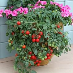 """Tumbling Tom Red Tomato Plant - 5""""-7"""" tall - not leggy, not plugs, not seeds- grown and shipped in 3.5"""" pots- Bright red cherry tomatoes that are tart yet sweet. #tomato #plant"""