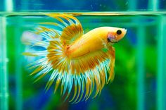 Yellow Butterfly Crowntail Betta #fish