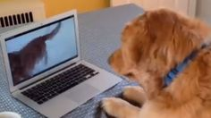 This is way too cute. WATCH this #AKCGoldenRetriever get adorably frustrated when she cannot play with her cyber-buddy. #woofipedia #woof