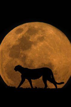The Cheetah & The Moon ||Mario Moreno