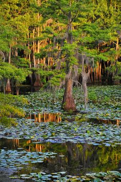 Cypress trees in Caddo Lake,Texas, home to the one of the world's largest Cypress Forests.