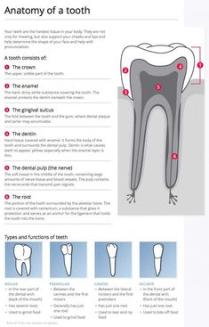 To speak the same language in communications between dentists and dental staff, we use a system that allows us to precisely identify each tooth by a number. Dental Assistant Study, Dental Hygiene Student, Dental Hygienist, Dental World, Dental Life, Dental Health, Health Care, Dental Anatomy, Medical Anatomy