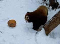 Red panda can't even handle this pumpkin