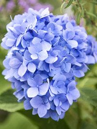 Information on growing Hydrangeas in the garden.