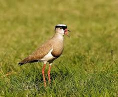 Image result for picture of a Kiewiet bird