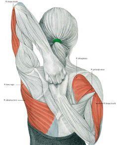 triceps.