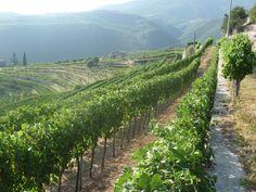 Vineyards of Valpolicella, Veneto, Italy