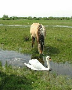 Highland pony and swan.
