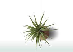 Whenever you would see this decoration you will be positively surprised - to see the beautiful Tillandsia on a hanging wooden globe! #tillandsia #etsy #etsyseller #etsyshop #shopping #shop #plant #plants #homedecor #homedecoration #decoration #love #beautiful #unique #hanging #sphere #wood #woodplanter #verticalgarden #gift #idea #interiordesign #airplant #airplants #green #greenlife #luftpflanze #pflanze #wohnenidee #idea #plant #plants #planter #planters #geometric #macrame