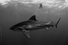 A tiger shark in the deep blue ocean with a freediver.