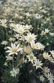 Looks like daisy but isn't a daisy. My favourite Australian native flower - Flannel Flower