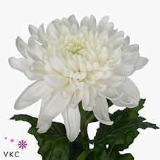 Chrysanthemum Blooms Antonov are a white disbudded, single headed cut flower variety. Plan for your upcoming wedding or event now with Triangle Nursery | Browse our range of White wedding & event flowers |