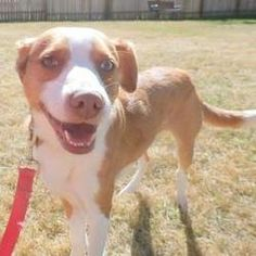 Freddie is an adoptable Collie Dog in Janesville, WI. RCHS is proud to introduce Freddie! Freddie is a Smooth Coat Collie Mix who loves to go for walks and explore our grounds. He is always happy to s...