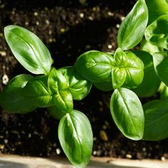 A windowsill kitchen garden: Grow great-tasting herbs indoors. You can grow herbs indoors this winter and add that just-picked taste to your meals, even when snow is drifting up against the kitchen… Easy Garden, Edible Garden, Herb Garden, Indoor Garden, Garden Plants, Indoor Plants, Outdoor Gardens, Indoor Herbs, Fruit Garden