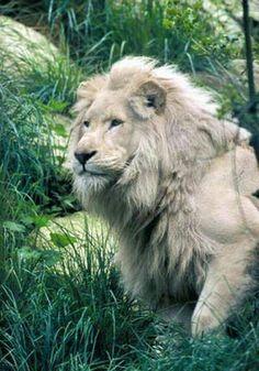 white lion..