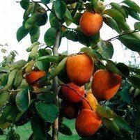 Tanenashi Persimmon Tree, Persimmon Trees, Free Persimmon Tree Video, Low Persimmon Tree  Price http://www.tytyga.com/Tanenashi-Persimmon-Tree-p/tanenashi-persimmon.htm