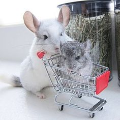 Shopping for a baby chinchilla? How about getting a trained chinchilla to take care of that for you? Be careful though, baby chinchillas don't like staying in the shopping cart for too long! Hamsters, Chinchillas, Rodents, Cute Little Animals, Cute Funny Animals, Chinchilla Pet, Cute Creatures, Guinea Pigs, Animals Beautiful