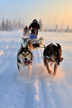 Wonderful All About The Siberian Husky Ideas. Prodigious All About The Siberian Husky Ideas. Alaskan Husky, Samoyed Dogs, Pet Dogs, Husky With Blue Eyes, Snow Dogs, Working Dogs, New Puppy, Dog Care, Beautiful Dogs