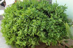 Šimšir, ukrasni grm