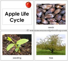 Apple Life Cycle Cards