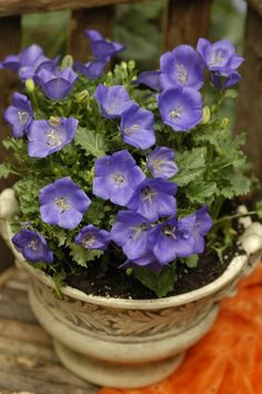 """#Bellflower Pearl Deep Blue displays deep #blue, bowl-shaped #flowers all season. This profusion of cup-shaped, upward-facing, 2"""" wide, vivid blue-violet flowers, with lighter centers, floats above the mound of dark green delicate foliage from late #spring to late #summer, if deadheaded regularly."""