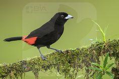 Passerini's Tanager - BIA - birdimagency