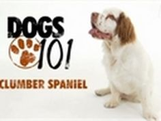 (Definitely putting a lot of research in, considering the health issues. Clumber Spaniel Puppy, Welsh Springer Spaniel, Spaniel Dog, Dogs 101, Dogs And Puppies, Pug Dogs, Doggies, Mobile Vet, Dog Names