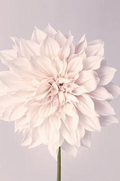 """Fine Art Flower Photography Print """"Dahlia No. 33"""""""