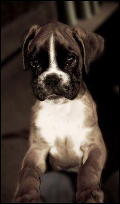 Cute boxer puppy (click here) http://dunway.us/kindle/html/boxer.html