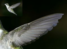 Hummingbird Wing Google Search Hummingbird Pinterest - Photographer captures amazing close up photos of hummingbirds iridescent feathers