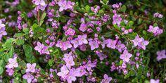 🌸🍀🌺 Μπορόνια, ένας πανέμορφος θάμνος με υπέροχα μικρά λουλούδια που προσελκύουν πεταλούδες, ιδανικό φυτό για δημιουργία χαμηλού φράχτη στον κήπο και για φύτευση σε γλάστρα στο μπαλκόνι.