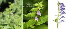 Byliny - Bylinky pro všechny Herbs, Plants, Epilepsy, Herb, Plant, Planets, Medicinal Plants