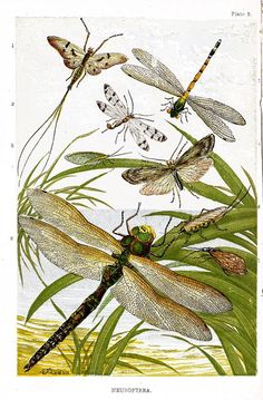 Neuroptera illustration from Sketches of British Insects, a handbook for beginners in the study of entomology, by William Houghton (1828–1895); illustrated with coloured plates and wood engravings. Published by Groombridge & Sons, London, 1888