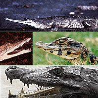 Whos Who of Crocodilians (alligators vs crocodiles lapbook