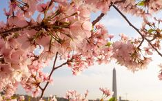 When to see peak bloom in D.C., and how long cherry blossom blooms typically last.