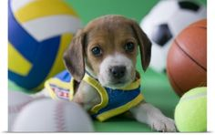 Poster Print Wall Art Print entitled Beagle Puppy and Sports, None