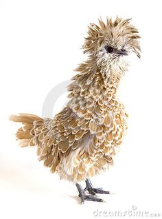 -POLISH FRIZZLE CHICKEN ~ I need to find one of these!!!