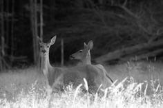 Black N White Photo of the deer from the Gamelands <3 Tammy Taylor-Kosiba's Photography 2013